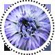 Alpenkugelblume_globularia-cordifolia_s