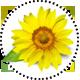 SunflowerOil_SonnenblumenOel